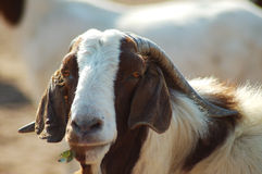 Big daddy. Portrait of a farm goat Royalty Free Stock Photography