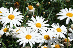 Big daisies. Close up stock image