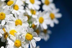Big daisies. Macro daisies at the blue background Royalty Free Stock Photos