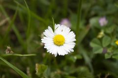 Big daisy with detail on yellow center. Macro Royalty Free Stock Photo