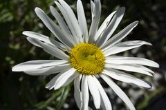 Big daisy with detail on yellow center. Macro Royalty Free Stock Photography