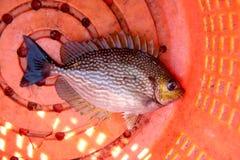 Big damsel fish. Stock Images