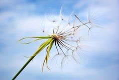 Big dandelion Stock Image