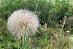 Big dandelion Stock Images