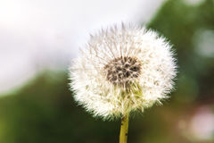 Big dandelion against sky, part of the parachutes fly in the sky. Royalty Free Stock Photos