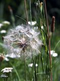 Big dandelion. Art photos for home decor. Fit for being printed and put on the wall Stock Photography