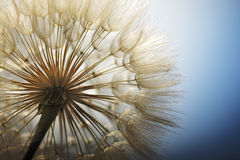 Big dandelion Royalty Free Stock Photography