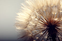 Big dandelion on a blue Royalty Free Stock Images