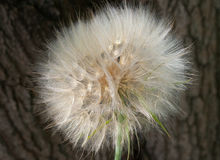 Big dandelion on a brown background royalty free stock image