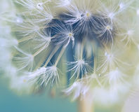Big dandelion fluff. Art photo. Stock Photos