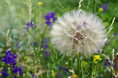 Big dandelion grows on the meadow Royalty Free Stock Photos