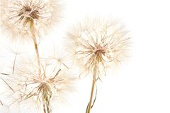 Big dandelion on white. Big dandelion isolated on white background. Dry plants royalty free stock photography