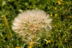 A big dandelion (Tragopogon coelesyriacus ). On spring Royalty Free Stock Photography