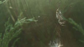 Spider holding big danger cross spider siting on spider web on right side of frame. Big danger cross spider siting on spider web on right side of frame stock footage