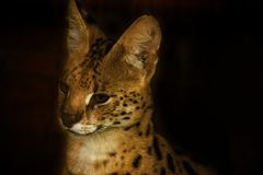 Serval royalty free stock image