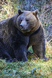 Big dangerous bear Stock Photo