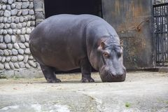 Big dangerous hippopotamus mammal stands on the ground. A big dangerous hippopotamus mammal stands on the ground royalty free stock image