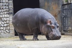 Big dangerous hippopotamus mammal stands on the ground. A big dangerous hippopotamus mammal stands on the ground stock images