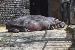 Big dangerous mammal hippo lies on the ground. A big dangerous mammal hippo lies on the ground stock photos
