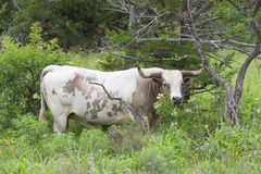 Big dangerous Texas longhorn bull Stock Image