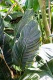 Big dark green leaves of purple strawberry guave, psidium littorale longipes. From bahamas Royalty Free Stock Image