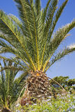 Big date palm in Marseille Royalty Free Stock Photography