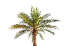 Big date palm tree isolated on white Stock Image