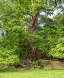 Big Dawn redwood tree in Beacon Hill Park Royalty Free Stock Photo