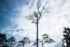 The big dead pine tree  stand alone on the cloud and blue sky background Royalty Free Stock Photos