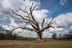 Big Dead Tree Royalty Free Stock Photos