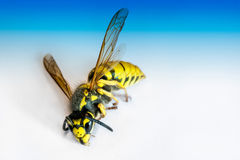 Big dead wasp Stock Photo