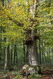 Big deciduous tree in a dense forest Stock Images