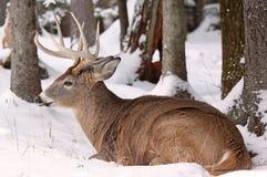 Big deer. Male deer sleeping on snow in nature Stock Photos