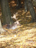 Big Deer Royalty Free Stock Photo