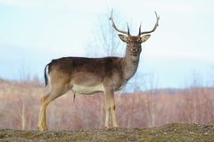 Big deer buck Stock Images