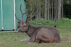 Deer lying on the lawn looking for something. Big deer lying on the lawn and looking for something Stock Photography