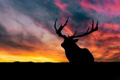 A big deer silhouette. The deer is resting and watching the environment. Beautiful sunset and orange sky in the background. royalty free stock photography