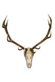 Big deer stag trophy Royalty Free Stock Photo