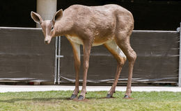 Big deer statue on a city street stock photo