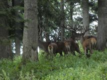 Big deers in the forest with big antler. Animal deer antler big forest nature wild herd trees trunk stock image