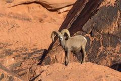 Big Desert Bighorn Ram Stock Images