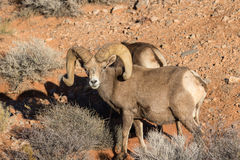 Big Desert Bighorn Sheep Ram Stock Photography