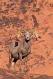 Big Desert Bighorn Sheep Ram Royalty Free Stock Images