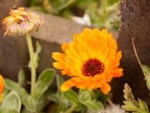 Big detailed beautiful orange flower head garden Royalty Free Stock Image