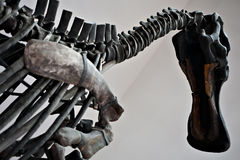 Big dinosaur skeleton Royalty Free Stock Images