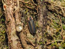 Big Dipper Firefly Photinus pyralis on tree with moss. And vines. Lightning bug royalty free stock photos