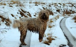 Komondor hungarian sheep dog royalty free stock photography