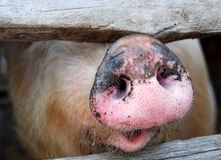 The big dirty pig. In pigpen, close up Royalty Free Stock Photo