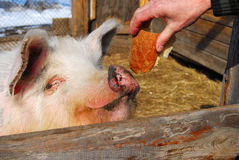 The big dirty pig is eating a bread. Close up Royalty Free Stock Photo