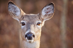 Big Doe Eyes. A portrait of a doe (female deer) with large brown eyes and long eyelashes. This is a White Tailed deer Stock Photography